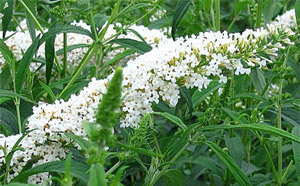 White Profusion